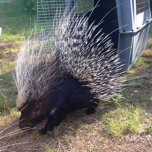 africancrestedporcupine2-rev-500x500