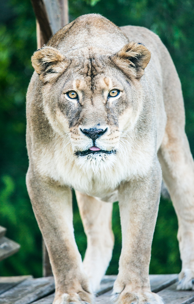 African Lion_03