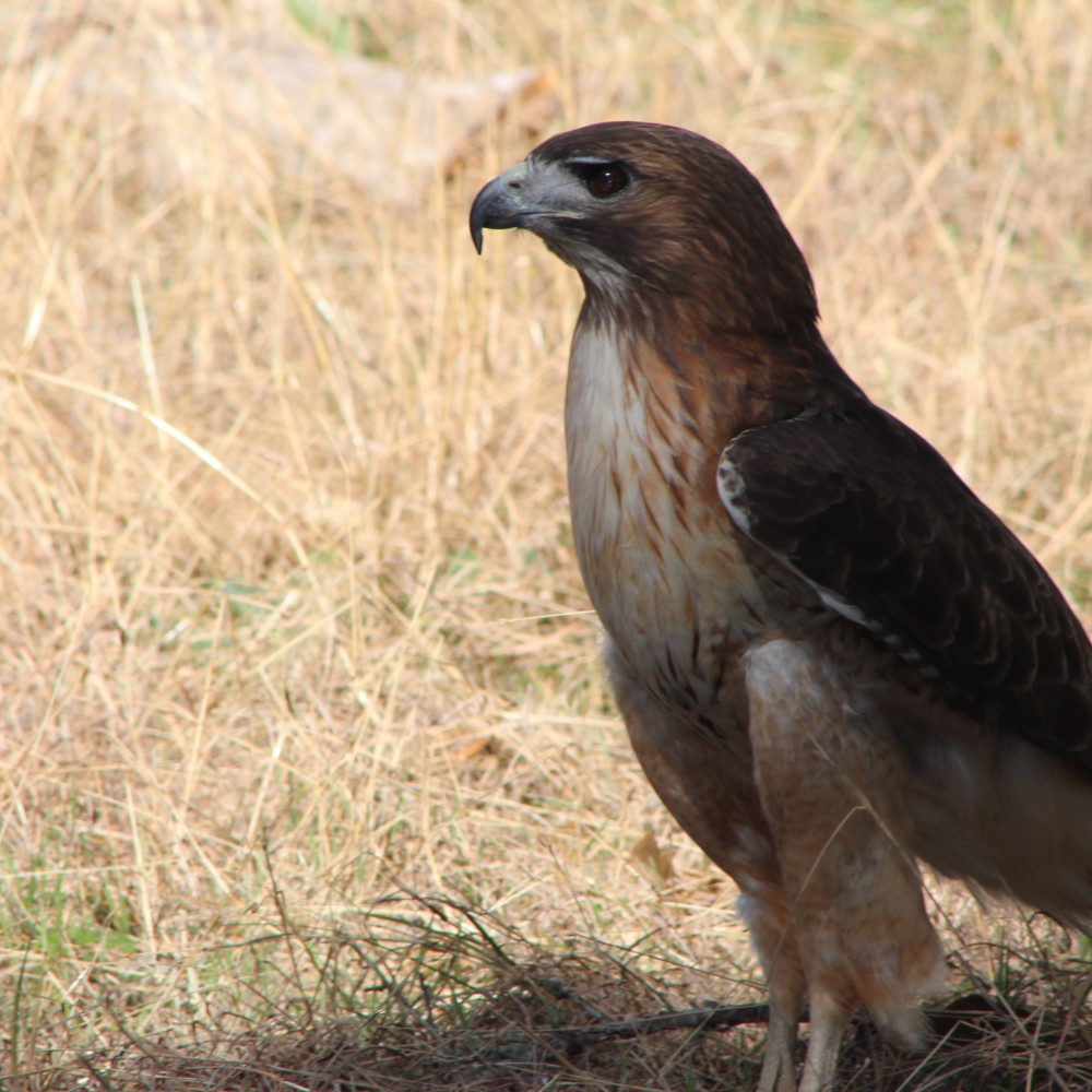 Red Tailed Hawk 02