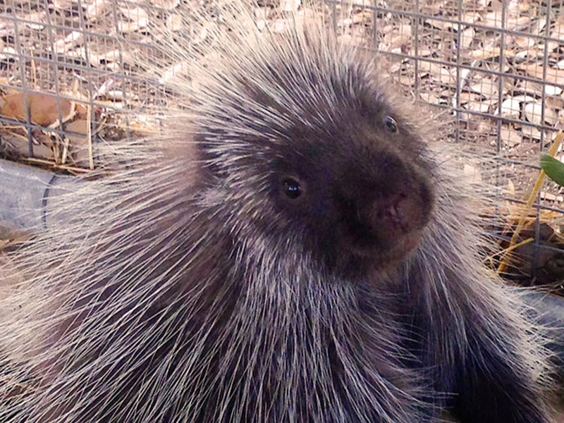 North American Porcupine Wildlife Rescue Amp Rehabilitation