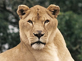 African Lion_04