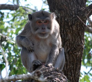 Long Tailed Macaque 02