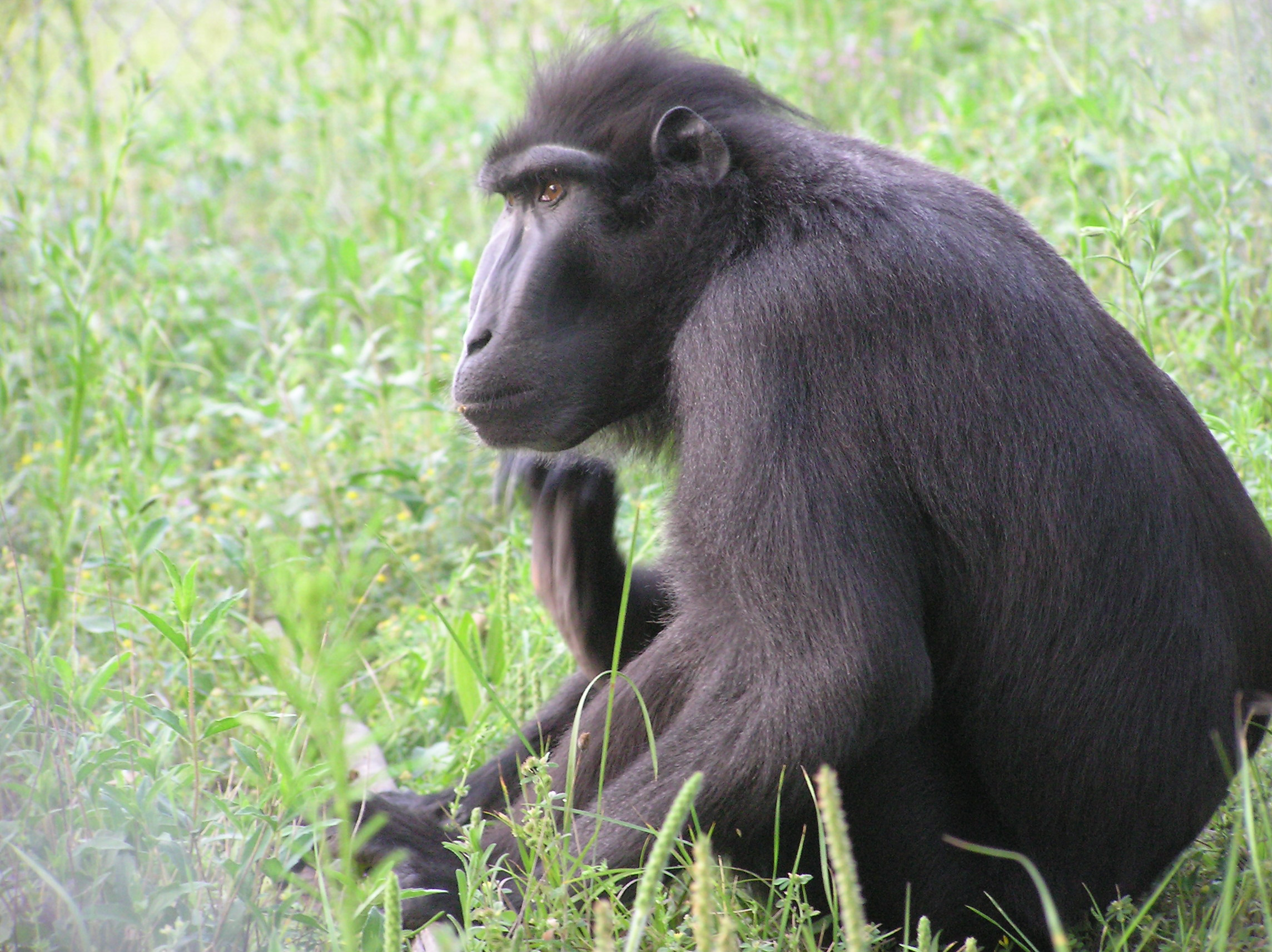 Sulawesi Crested Black Macaque Wildlife Rescue