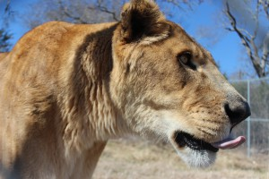 african lion_02