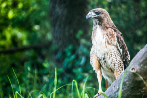 Sponsor A Red-tailed Hawk in Sanctuary